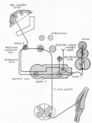 Путь слухового анализатора